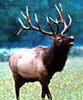 Watch elk and other wildlife along our Ozarks creeks and ridges.