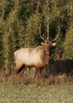 Trophy elk enjoy the sunshine along our woods. Photography provided by Cathy Lee Miller of Texas.