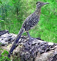 Watching wild birds, song birds, and wildlife completes outdoor vacation for rent package. Road Runner photo courtesy of Arkansas Game & Fish Commission